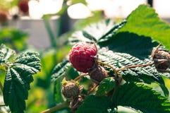 Raspberries in the sunny summer garden. In light Stock Photos