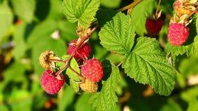Raspberries swayed in the wind stock video footage