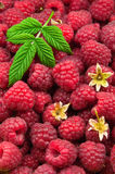 Raspberries texture Royalty Free Stock Photo