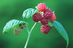 Raspberries on vine. A closeup of plump, juicy red raspberries growing on the vine Stock Image