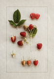 Raspberries on vintage paper. Botanical illustration. Stock Image