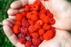Raspberries in woman hands. Stock Photo