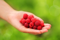 Raspberries in the woman hands. Woman standing quality and fresh-picked raspberries in hand Royalty Free Stock Images