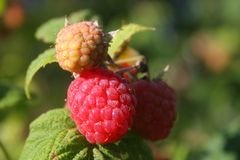 Raspberry. On a bush royalty free stock images