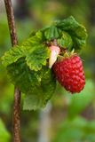 Raspberry. Close-up of Raspberries berry and leaves with raindrops Royalty Free Stock Photo