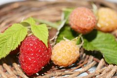 Raspberry. Bunch of a red and yellow raspberry Stock Photography