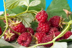 Raspberry. Stock Photography