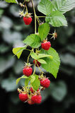 Raspberry. Twig of red ripe raspberry Stock Photography
