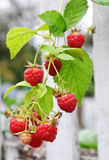 Raspberry. Twig of raspberry ober white fence stock photography