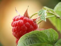 Raspberry. On the bush, close-up Stock Photography