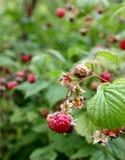 Raspberry. Forest, raspberry stock image