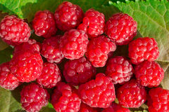 Raspberry. Juicy ripe raspberries on the autumn leaves Stock Images