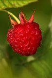 Raspberry. Macro shot Royalty Free Stock Photos