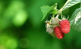 Raspberry. Pic of group of raspberries Royalty Free Stock Photography
