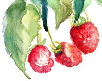 Raspberry. Red Raspberry with leaves, watercolor illustration Royalty Free Stock Images