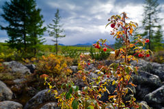 Raspberry. On a bush on a background of mountains Royalty Free Stock Photos
