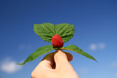 Raspberry. Sweet red raspberry and leaves in the hand, background cloudly sky, Rubus idaeus royalty free stock images