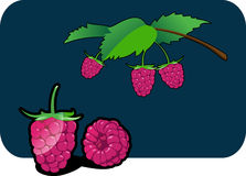 Raspberry. Vector color illustration of a raspberry.  The vector file is in AI-EPS8 format Royalty Free Stock Images