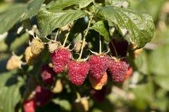 Free Raspberry Stock Image - 61744291