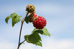Raspberry. Brunch on blue sky background royalty free stock image
