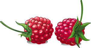 Raspberry. Vector illustration of red and juicy raspberries Stock Image