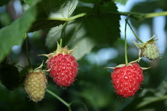 Raspberry. A ripe raspberry weighs on a bush Royalty Free Stock Photography