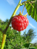 Raspberry against blue sky background Stock Images