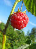 Raspberry against blue sky background stock photography