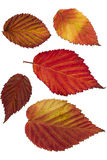 Raspberry. Autumn bright leaves isolated on white closeup stock photography