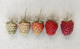 Raspberry background. Different kind of ripeness of raspberry. Royalty Free Stock Photo