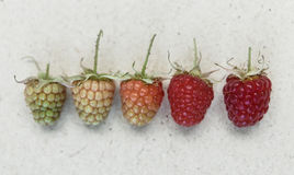Raspberry background. Different kind of ripeness of raspberry. Royalty Free Stock Photography