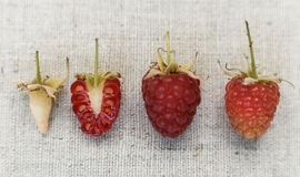 Raspberry background. Different kind of ripeness of raspberry. Stock Images