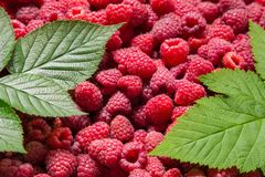 Raspberry background with green leafs. Ripe raspberry fruit background with green leafs Stock Photos