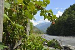 Raspberry. On the banks of a mountain stream Stock Photos