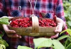 Raspberry  basket in holding hands on the garden background. Fresh ripe raspberry  in basket in holding hands on the garden background Royalty Free Stock Photo