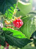 Raspberry berrie. S on the bush among the leaves royalty free stock image