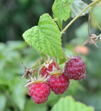 Raspberry berries is growing on a branch in a garden Royalty Free Stock Photos