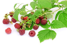 Raspberry berries on a white background Stock Photos