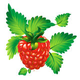 Raspberry berry. Model with EPS file vector illustration
