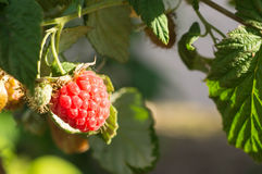Raspberry berry on a branch shined with the sun Stock Photography