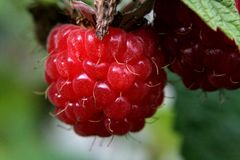 Raspberry berry in these macro photos Royalty Free Stock Images