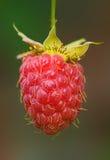 Raspberry berry. Ripe berry of raspberry in habitat stock photography