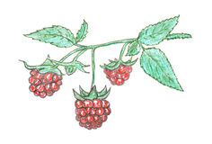 Raspberry berry sketch, garnet Royalty Free Stock Photo