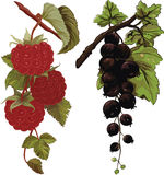Raspberry and black currant Royalty Free Stock Images