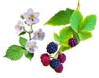 Raspberry blossoming branch. Strawberry blossom with leaves isol. Ated on white.  Raspberries branch with peach flowers. Bunch of blackberries. blackberry with Royalty Free Stock Photo