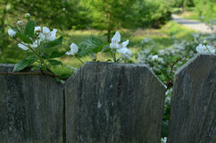 Raspberry blossoms at top of fence country road in distance Royalty Free Stock Photo