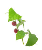 Raspberry branch Royalty Free Stock Images