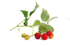 Raspberry branch Stock Image