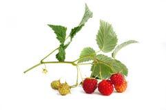 Raspberry branch Stock Image