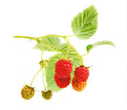 Raspberry branch Stock Photography